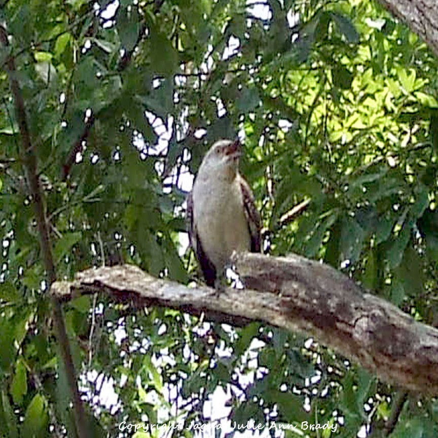 Adult Mockingbird Protective Behavior 4