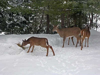 a report on the white tailed deer in north america Deep reports small die-off of middletown-area white-tailed deer herd by disease were documented in north america of water bodies to report the.