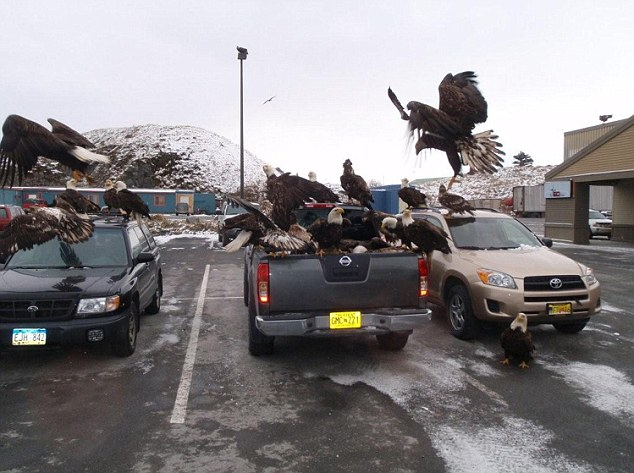 Pack of Eagles attacks a car at an Alaskan Safeway supermarket (Video)