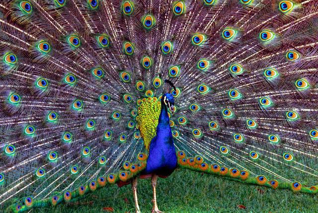 primer plano de pavo real con la cola extendida