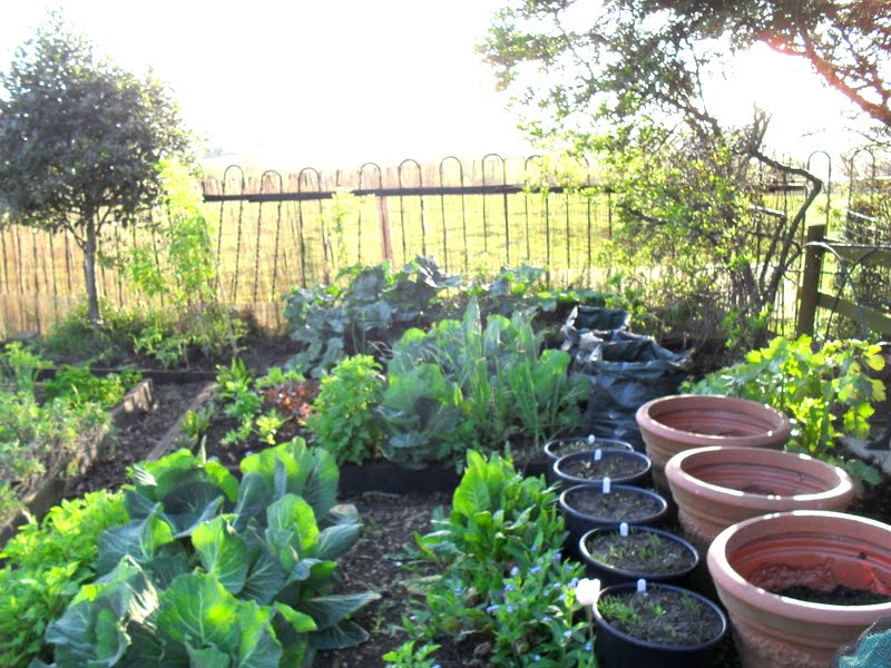 A woman of the soil oriental greens runner beans and other things the raised beds in the rosebank garden are filling out nicely the large pots are waiting for courgettes and squash the smaller black bottomless pots have workwithnaturefo