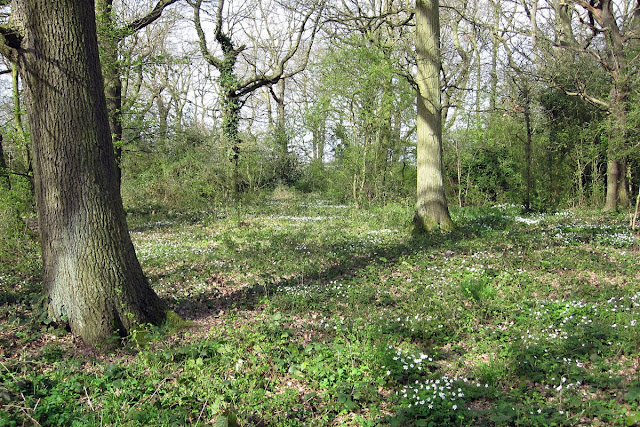 A glade in Thornet Wood, Jubilee Country Park, full of wood anemones.