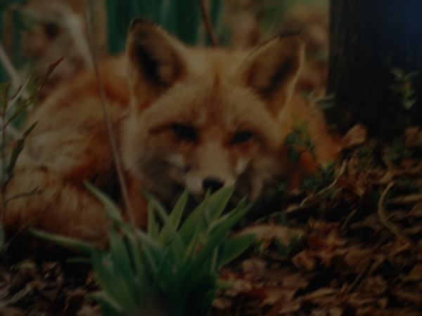 Red Fox by DearMissMermaid.Com
