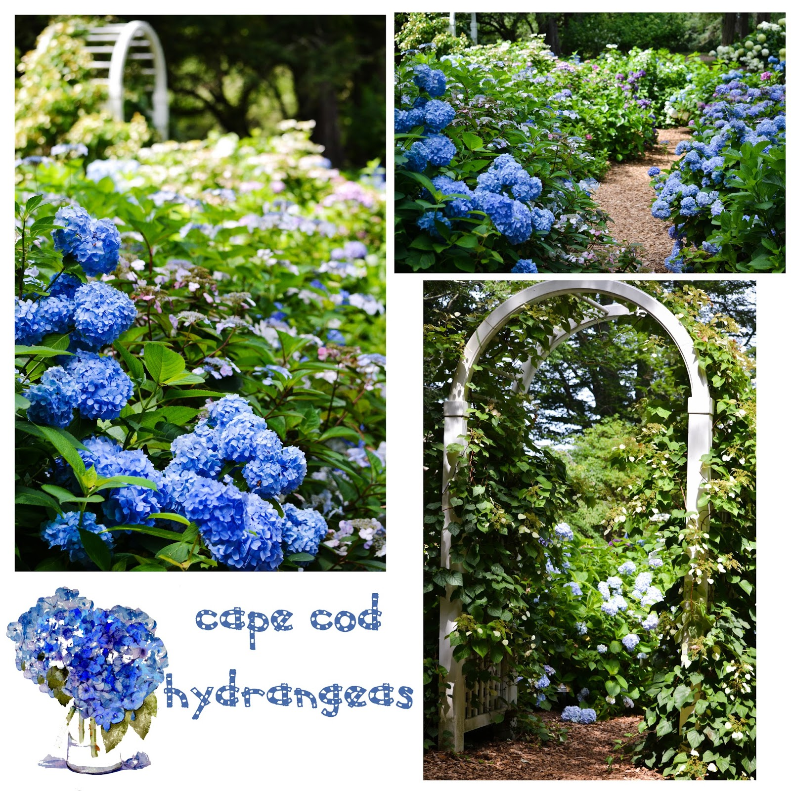 A SCRAPBOOK OF INSPIRATION: The Cape Cod Hydrangeas Are In