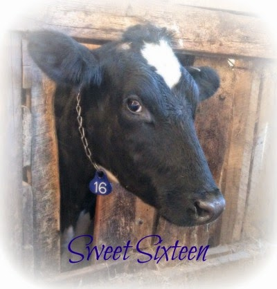 cow 16