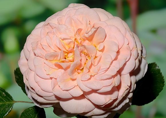 Elizabeth Stuart rose сорт розы фото