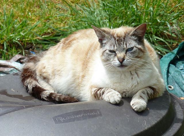 Fran Siamese-ish cat in the sun