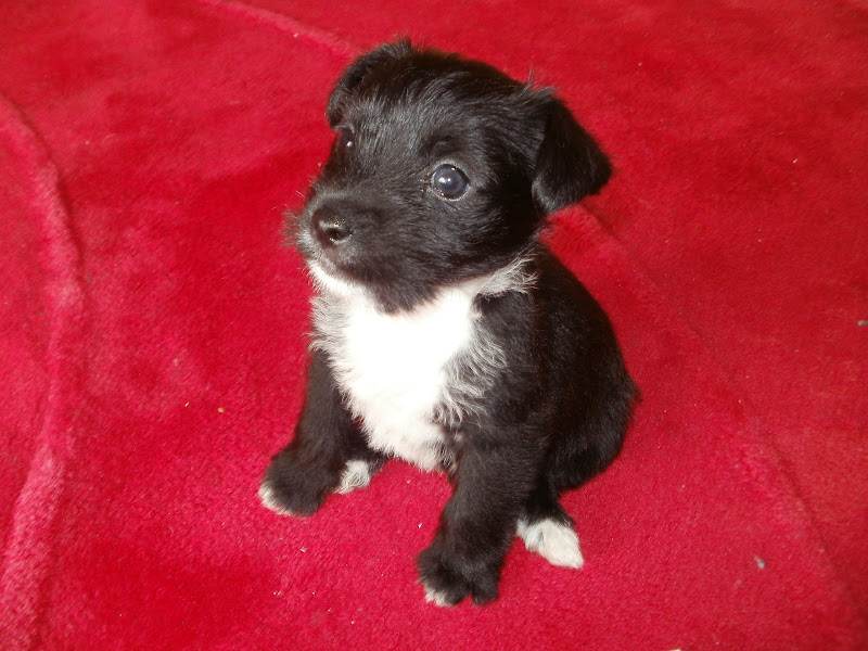 my new puppy bertie he s a chihuahua jack russell cross puppy ...