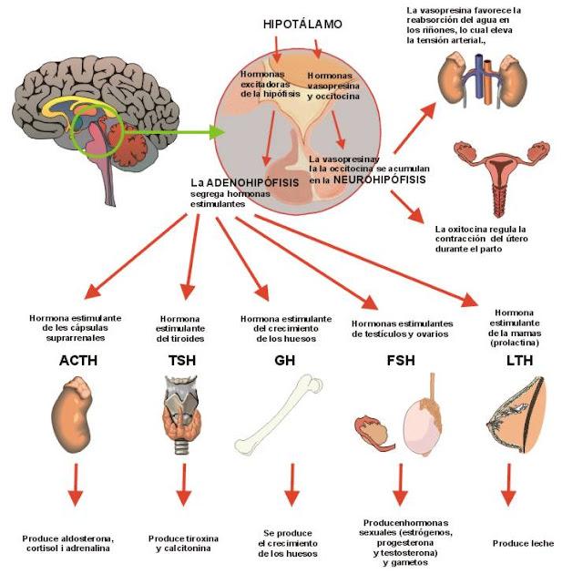Coordinación neurohormonal