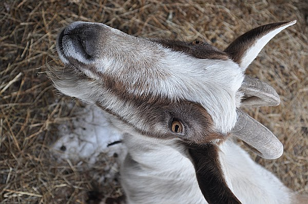 Can A Dairy Allergy Child Drink Goats Milk