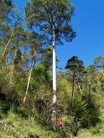 La Pinassa monumental d'uns 30 metres d'alçada