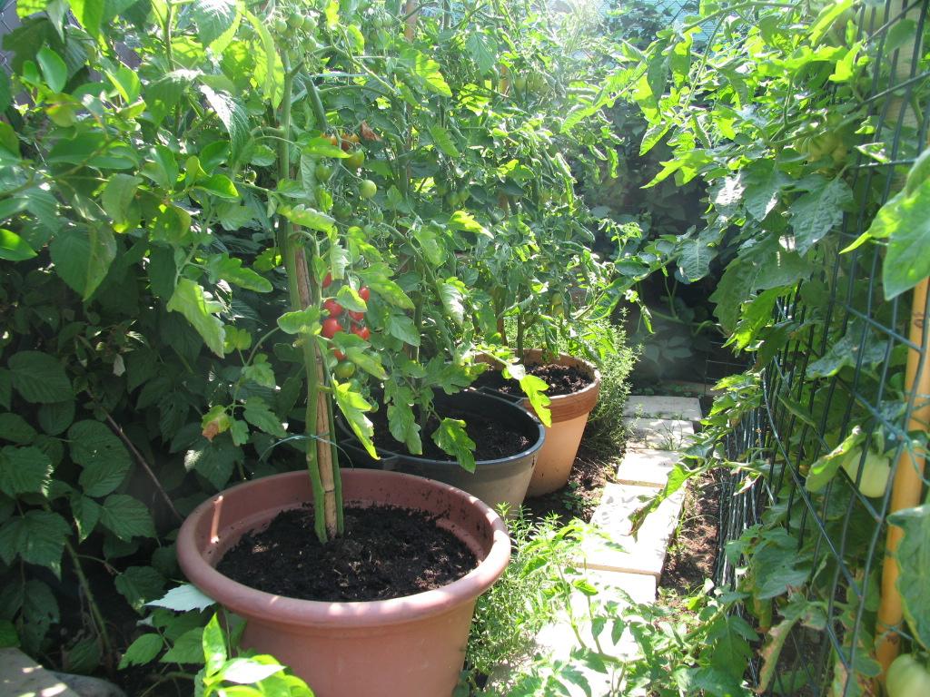 La magia di un piccolo orto pomodori melanzane e for Piante pomodori in vaso