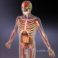 3d Human Anatomy7