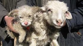kambing-lahir-anjing