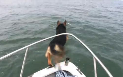 Cão vê golfinhos e decide saltar no mar atrás deles