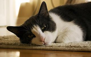 Sleepy cat wallpaper