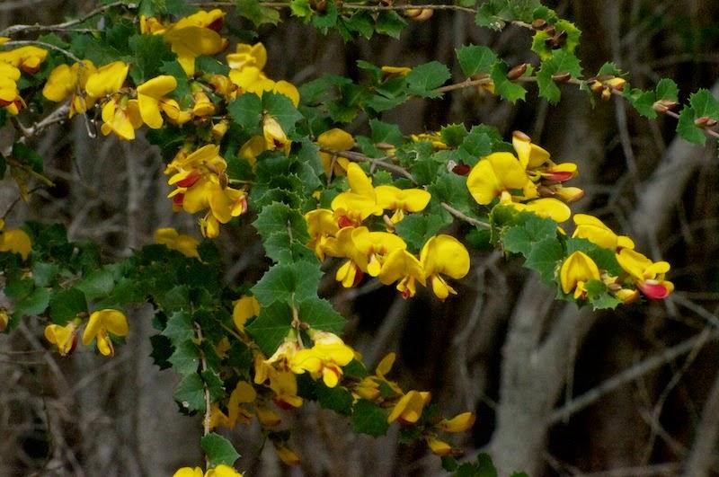 Prickly Poison (Gastrolobium spinosum)