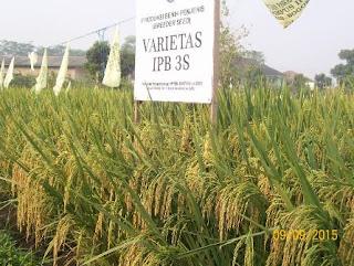 Produksi bibit padi varietas IPB 3S