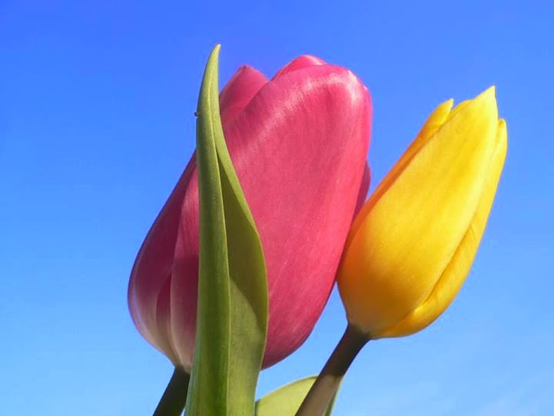 Pair of yellow and pink tulips flowers images for desktop mightylinksfo