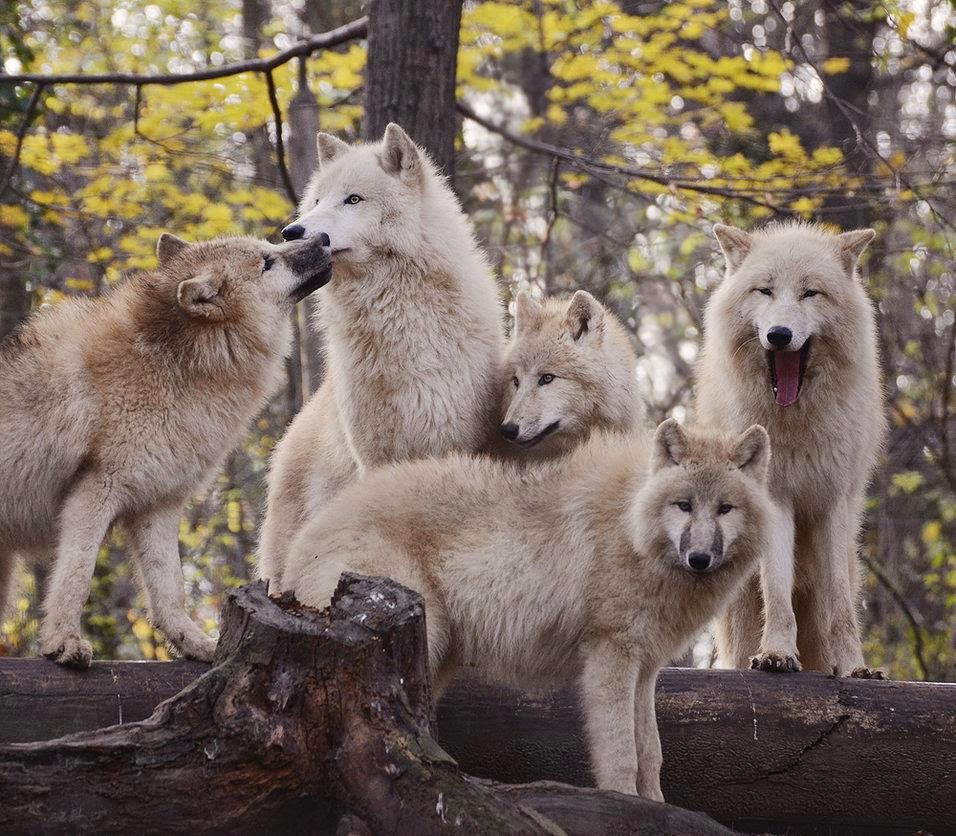 What would happen to a wolf if it is banished from the pack?