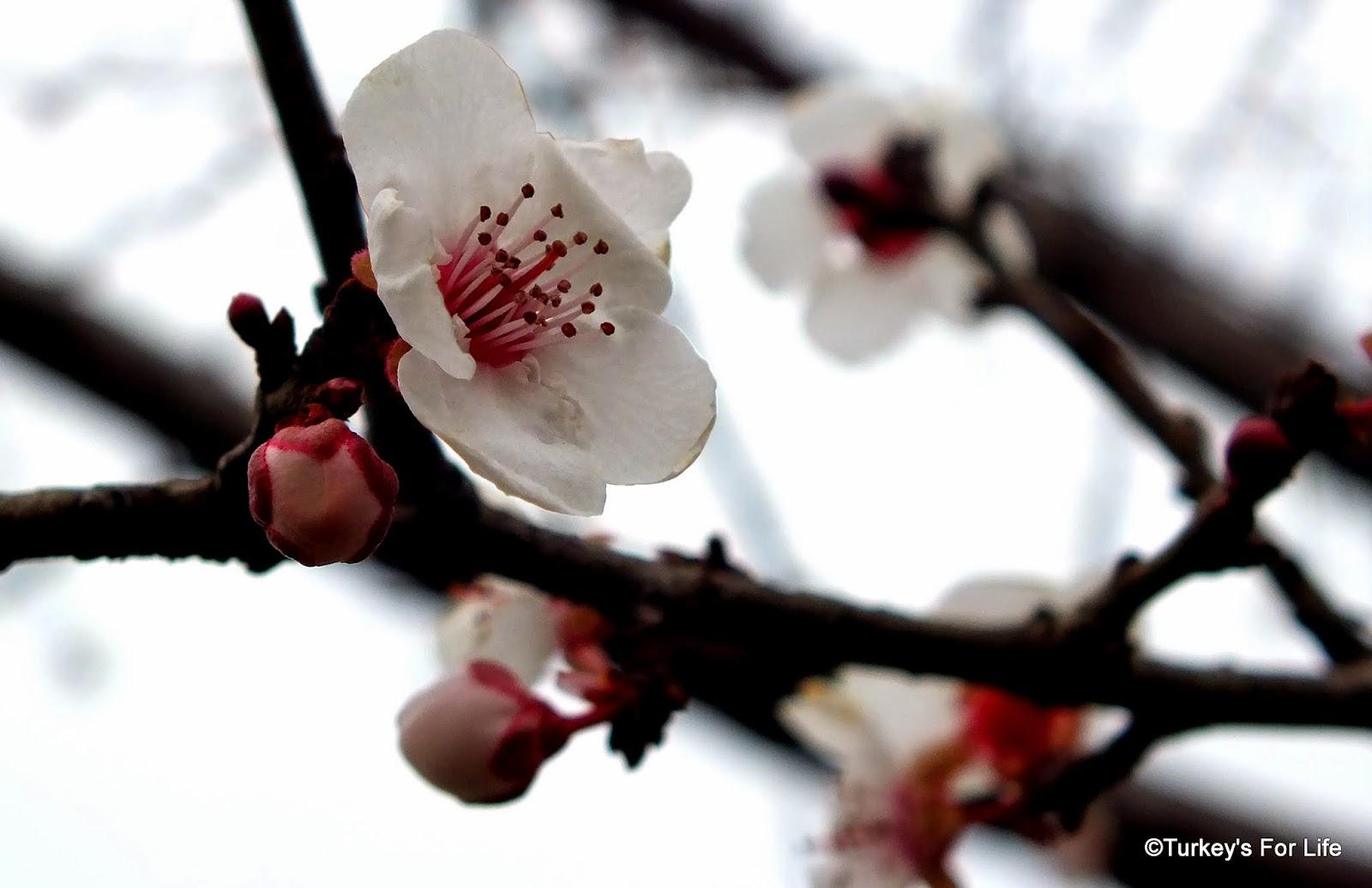 Fethiye In Blosssom