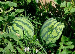 How to care watermelon plant