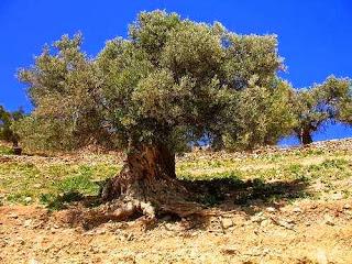 POHON GHORQOD PELINDUNG ISRAEL