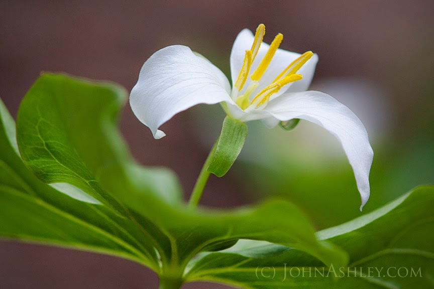 Glacier Park Trillium (c) John Ashley