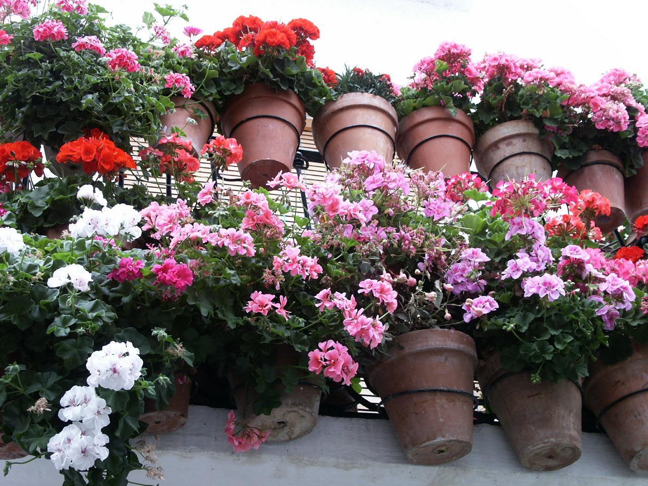plantas para jardim muito sol:Geranios são flores atraentes e coloridas, nas varandas e nas