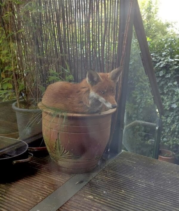 Funny animals of the week - 20 December 2013 (40 pics), fox sits in the plant pot
