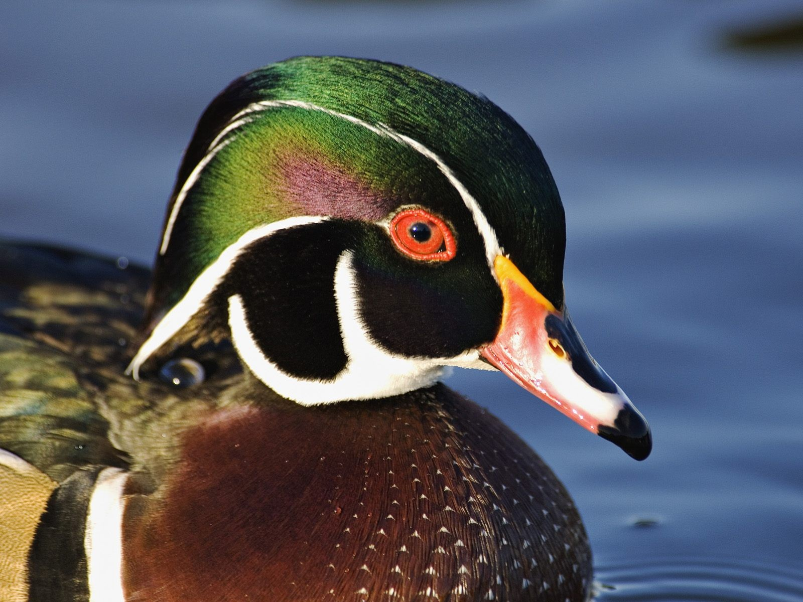 http://1.bp.blogspot.com/-hlSVqjlaTe4/UIbc14jysDI/AAAAAAAAFsg/EtE2aTZPkqU/s1600/male_wood_duck_desktop_wallpaper_24741.jpg