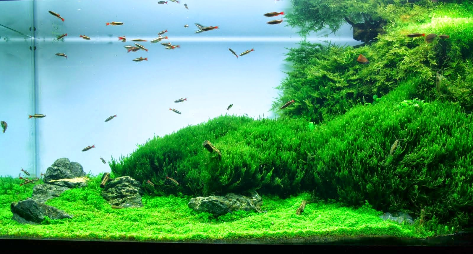 Aquascape Design: Flame Moss – Taxiphyllum sp