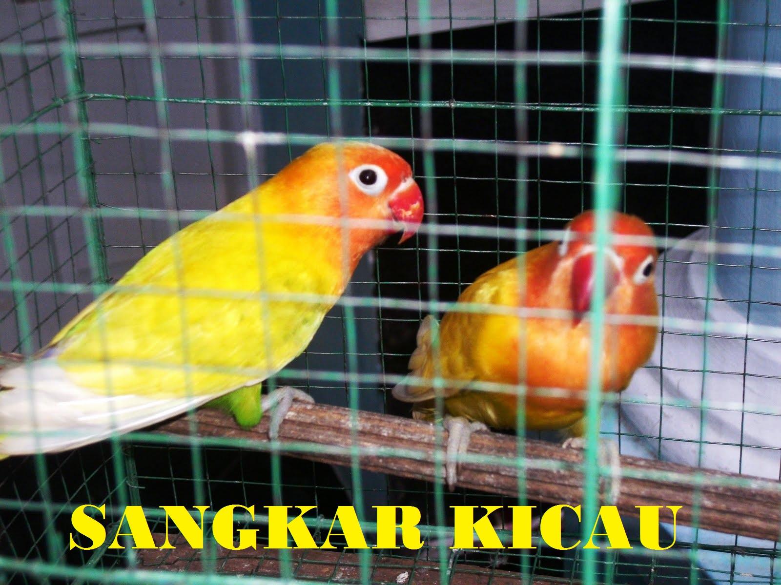 Nusantara Kicau Jenis Lovebird