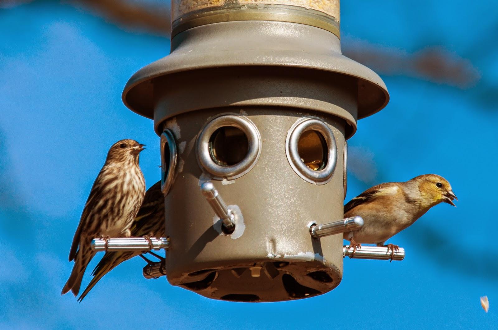 American Goldfinches, Bob Jones Nature Center