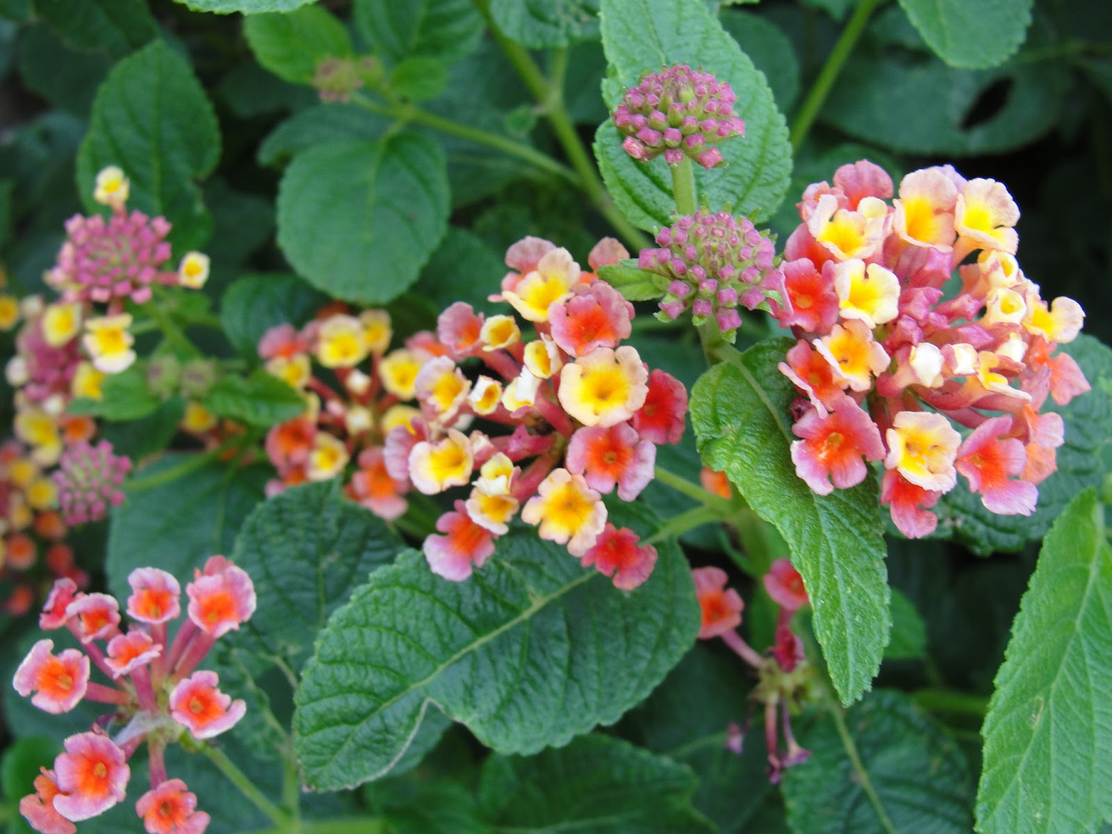 Abbies flowers gifts lantana wonderful perennial lantana comes in a variety of colors and the hot pink and yellow mixture is one of my favorites mightylinksfo