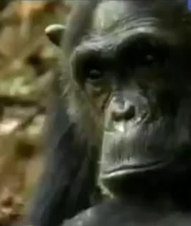 5 - Simpanse