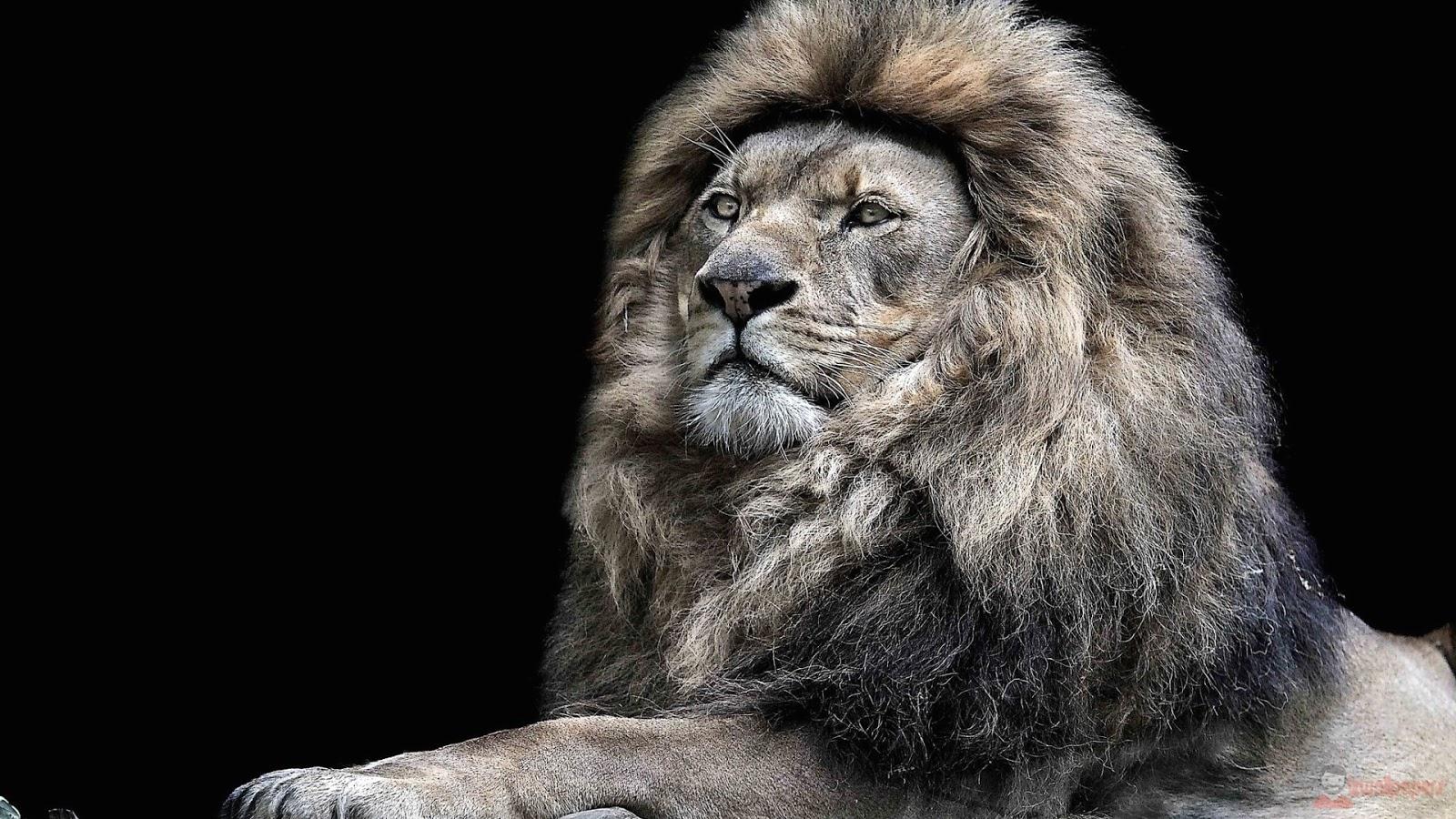 wallpapers lion hd h nh n n con h ch t l ng cao iz wallpapers th vi n h nh n n m y t nh. Black Bedroom Furniture Sets. Home Design Ideas