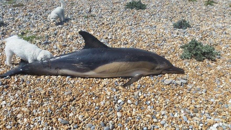 Dead Dolphin ashore May 2016