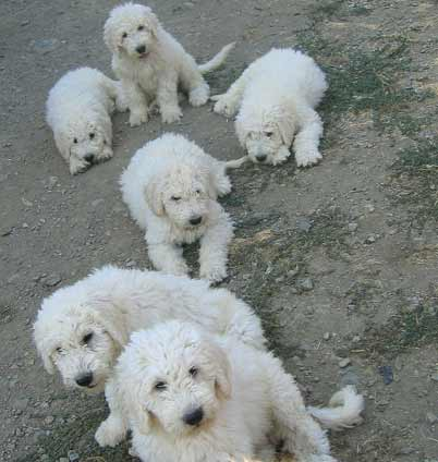 Komondor Puppies Photos | Puppies Pictures Online Komondor Dog Pictures