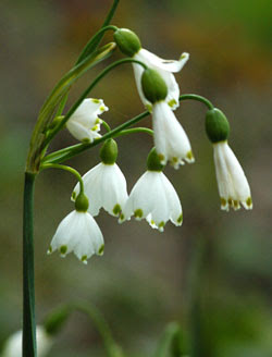 Flowers for flower lovers snow drop flowers pictures patterns and the fact that they were regularly seen springing up in cemeteries many victorians felt that these flowers were representative of death mightylinksfo