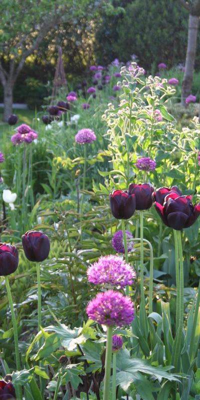 tulipan 'queen of night' og allium
