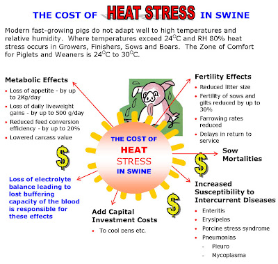 Ảnh hưởng của stress nhiệt trên heo.