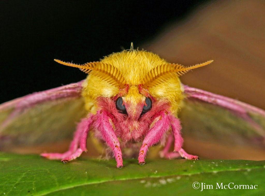 Ohio Birds and Biodiversity: Colorful camouflage: Rosy ... - photo#12