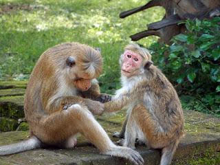 Monkey's in Polonnaruwa