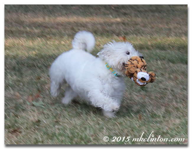 White West Highland Terrier running with tiger toy