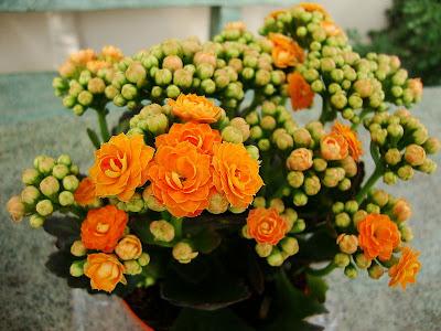 Kalanchoe Blossfeldiana Flower Pictures