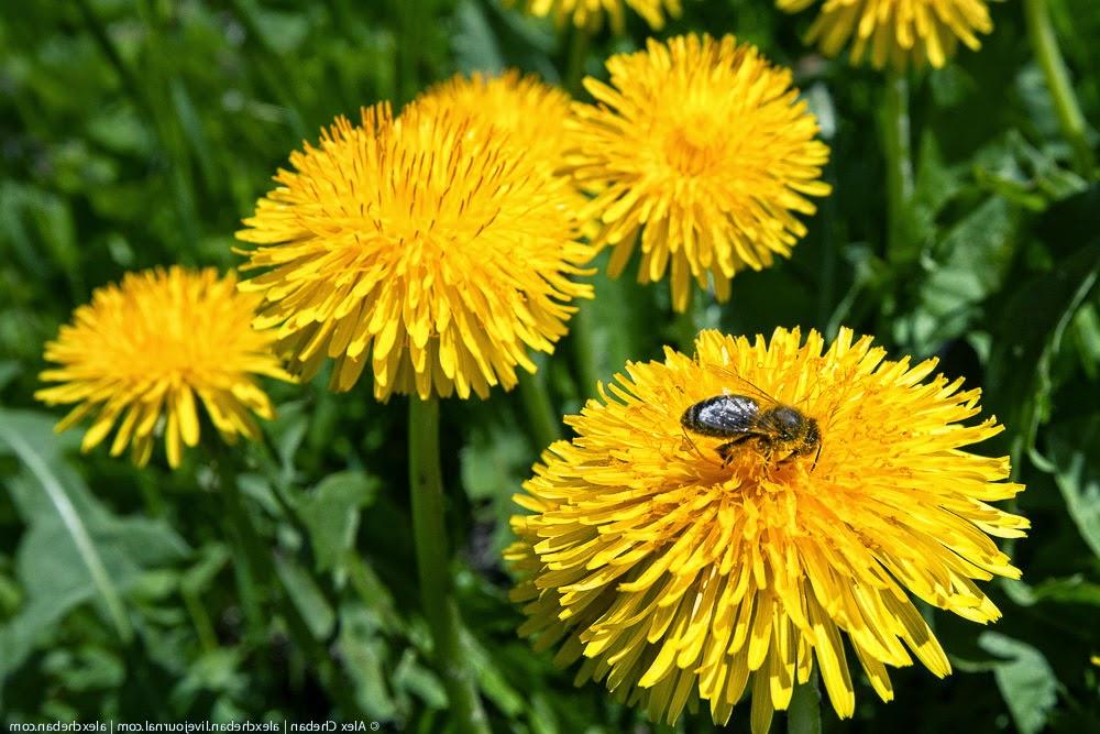 эко травы -одуванчик