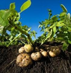 И опять про картофель