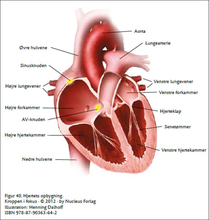 hjertets anatomiske opbygning