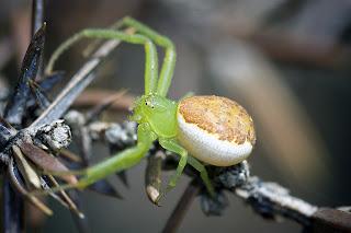 Para ampliar Diaea dorsata (Araña cangrejo) hacer clic